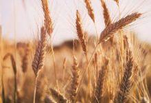 تصویر از کمبود شدید گندم مخصوص ماکارونی/ کارخانهها با ۴۰ درصد ظرفیت کار میکنند