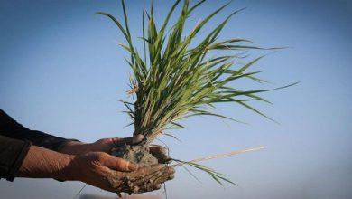 تصویر از سایه خشکسالی بر سر شالیزارهای کشور/ تولید برنج تا چه حد کفاف نیاز داخل را میدهد؟