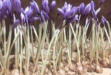 تصویر از وزارت جهاد کشاورزی مازاد پیاز زعفران را خریداری کند