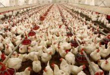 کانون صنفی مرغداران گوشتی