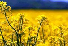 تصویر از ۲ شرط مهم خوداتکایی در تولید دانههای روغنی
