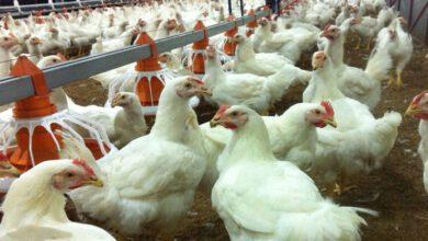 تصویر از ضرر ۶۰۰۰ تومانی مرغداران/ دولت تخم مرغ ذخیره کند