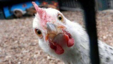 تصویر از آرامش مرغی فرا رسید (طنز)
