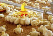 تصویر از انتقاد دبیر کانون مرغداران گوشتی از پاک کردن صورت مساله به جای حل مشکلات