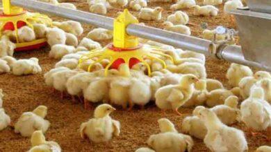 تصویر از پیشنهاد اتحادیه مرغداران گوشتی: حذف واسطهها در توزیع جوجه یکروزه