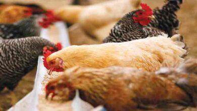 تصویر از معاون گمرک: هیچ مشکلی در ترخیص خوراک مرغ نیست