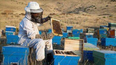 تصویر از معرفی زنبورعسل به عنوان «نهاده زنده» بخش کشاورزی