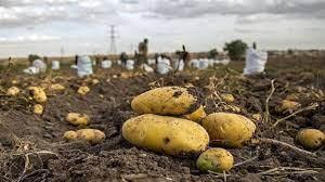 تصویر از عضو هیاتمدیره انجمن تولیدکنندگان سیبزمینی: انباشت سیبزمینی محصول الگوی کشت غلط وزارت کشاورزی است
