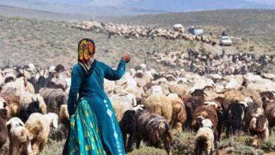 تصویر از قیمت خرید حمایتی دام عشایر ابلاغ شد