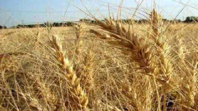 تصویر از ایمانی مطرح کرد؛ افت ۳۰ درصدی خرید گندم نسبت به سال قبل/ گندم های وارداتی در حال ترخیص از گمرک
