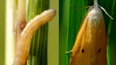 تصویر از مبارزه با آفت کرم ساقهخوار برنج در بیش از ۴۴ هزار هکتار شالیزار