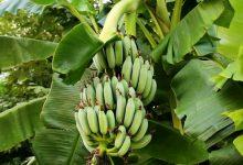 تصویر از پیشبینی تولید ۵۰ درصد میوههای گرمسیری در سواحل مکران