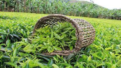 تصویر از رئیس سازمان چای کشور: ۷۰ درصد از مطالبات چای کاران پرداخت شده است