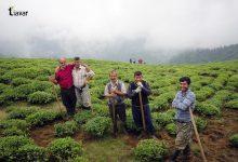 تیاور؛ محصولات کشاورزی و احیاء جنگل های هیرکانی